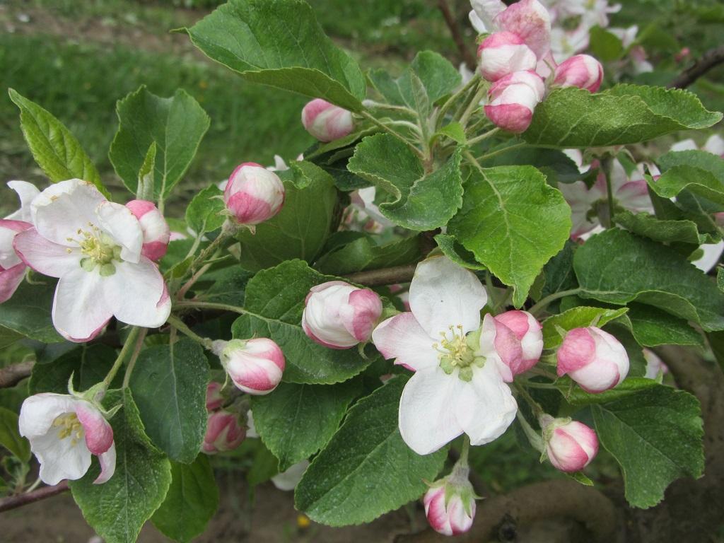 Apfelblüte 2017