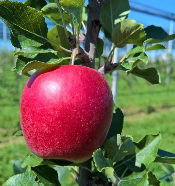 Beginn der Apfelernte
