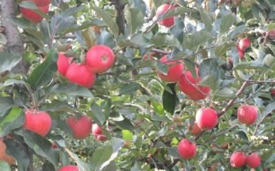 Apfelsorte GALA … beliebt bei allen Kindern!
